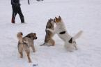 В Усинске проверят бездомных собак на наличие опасных заболеваний