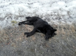Собачья бойня, или Как отрабатывают искусство убивать в Усинске